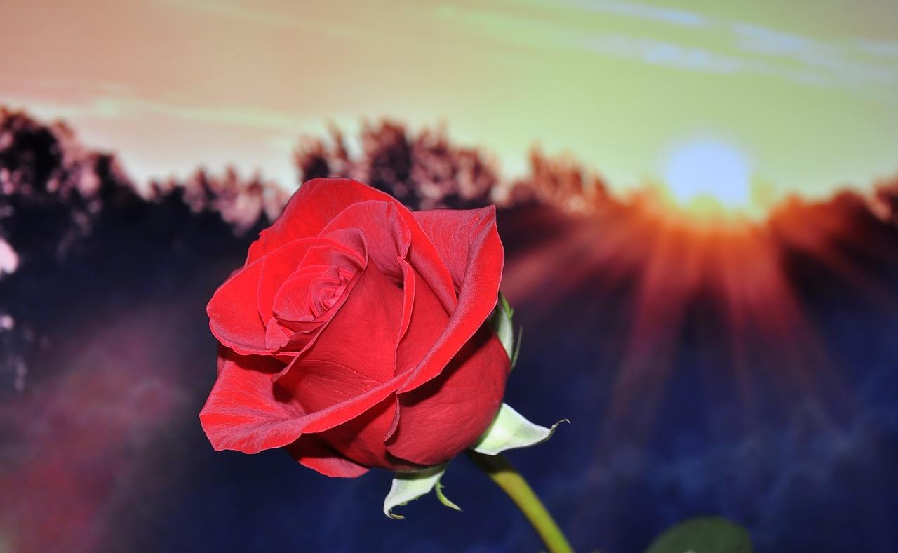 Роза на закате