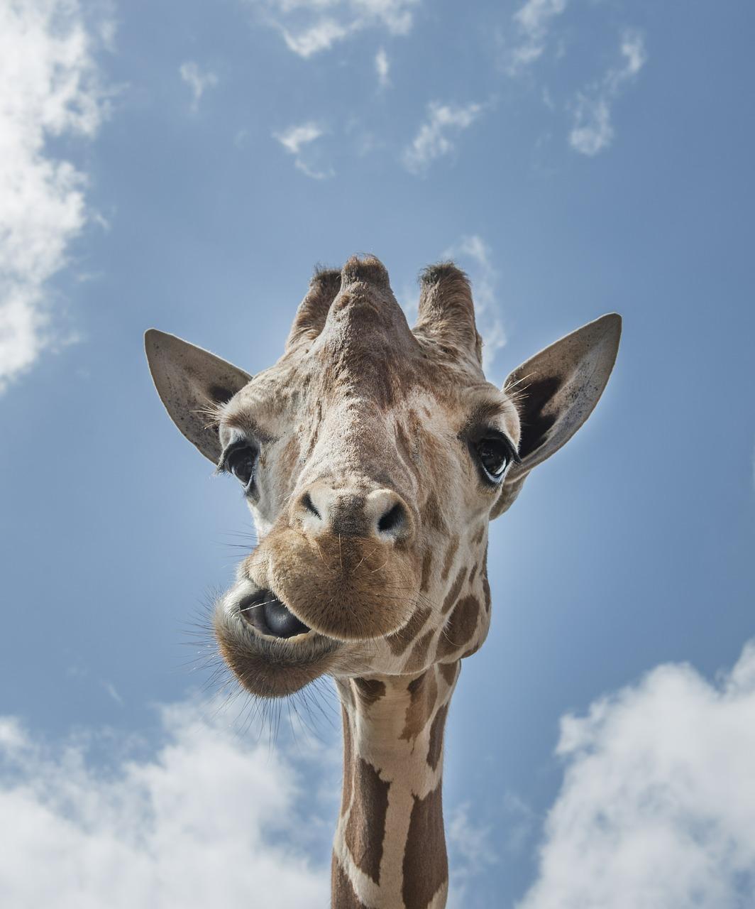 Жирафик корчит рожицу